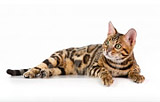 Bengal cat JACKJACK  ATTACK, Benglory Bengal cats breeding cattery