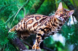 Bengal cat Sunny Breeze, Benglory Bengal cats breeding cattery